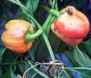 A red pepper (capsicum) with a brown bruise caused by viruses