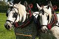 Percherons attelés mondial du cheval percheron 2011Cl J Weber19 (24000845531).jpg