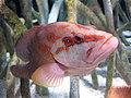 Percoidei - Cephalopholis miniata - 3.jpg