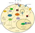 Peripheral GABA(B) receptor targets.png