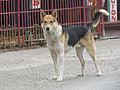 Perro de Los Queñes (11001551445).jpg