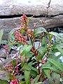 Persicaria maculosa 03.jpg