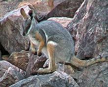Wallaby delle rocce dai piedi gialli