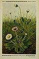 Pflanzen der Heimat (Tafel 61) (6099930154).jpg