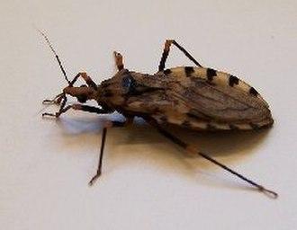 Triatominae - Image: Pgeniculatus 2