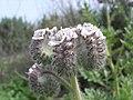 Phacelia cicutaria 001.jpg