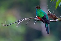 Pharomachrus auriceps, Golden-headed Quetzal.jpg