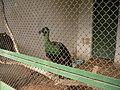 Pheasant - Фазан - panoramio.jpg