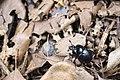 Phelotrupes(Sinogeotrupes) insulanus (28028549842).jpg