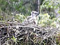Philippine Eagle with nest.jpg