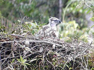 Philippine Eagle at nest