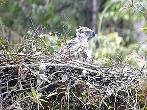 Philippine eagle - A Philippine eagle nestling