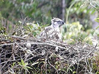 Apayao - A Philippine eagle nestling
