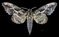 Phyllosphingia dissimilis dissimilis MHNT CUT 2010 0 199 North Korea male dorsal.jpg