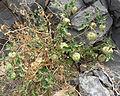 Physalis crassifolia 7.jpg