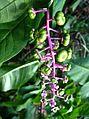 Phytolacca americana Mohonk 1.jpg