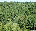 Picea abies 05 ies.jpg