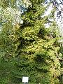 Picea orientalis 25.JPG