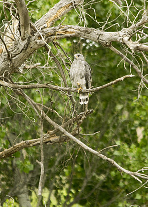 Gray hawk - Near Phoenix, Arizona