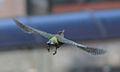 Picus viridis sharpei 018.jpg