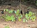 Pieridae puddling from Savandurga IMG 9991.jpg