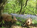 Pigs feeding in Prior's Wood - geograph.org.uk - 1282130.jpg
