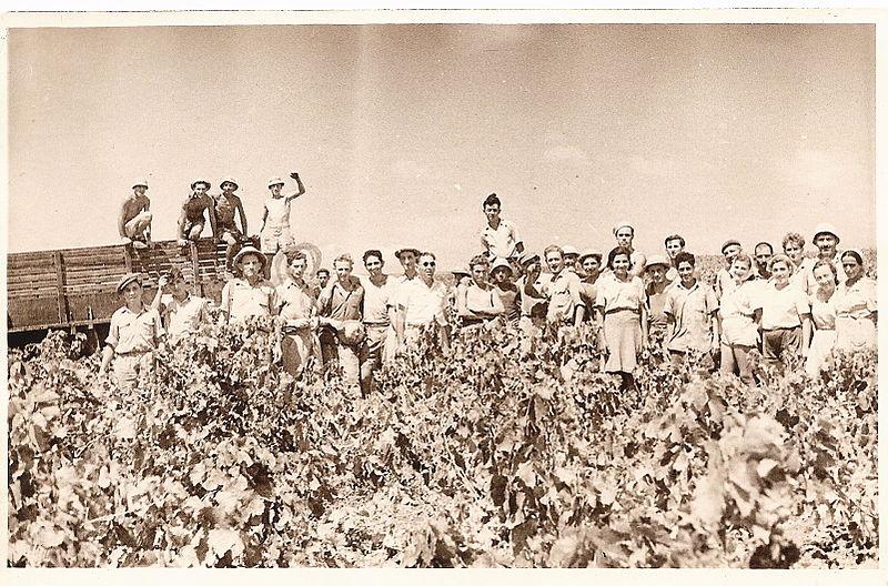 גבעת עדה קבוצת ויתקיניה בבציר בכרמי המושבה