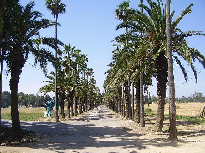 שדרת הדקלים בכניסה למקווה ישראל