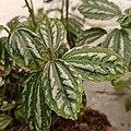 Pilea cadierei (Family Urticaceae) - leaves.jpg
