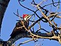 Pileated Woodpecker (5232852855).jpg