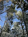 Pine trees under snow.jpg