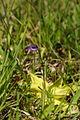 Pinguicula vulgaris - Vitranc 1.jpg