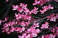 Pink-dogwood-tree-bokeh - West Virginia - ForestWander.jpg