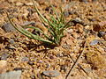Pinus palustris seedling 2.jpg
