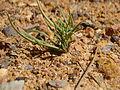 Pinus palustris seedling 2.jpg