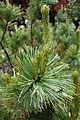 Pinus pumila - Morris Arboretum - DSC00264.JPG