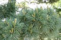 Pinus strobus Nana 4zz.jpg