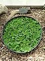 Pistia stratiotes - Copenhagen Botanical Garden - DSC07974.JPG