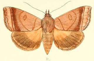 <i>Ophiusa trapezium</i> species of insect
