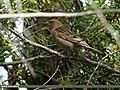 Plain Mountain Finch (Leucosticte nemoricola) (24153875106).jpg