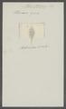 Planaria grisea - - Print - Iconographia Zoologica - Special Collections University of Amsterdam - UBAINV0274 105 05 0002.tif