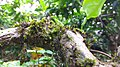 Plankton plant on coffee Tree.jpg
