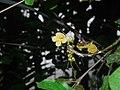 Plant Ophiocolea P1110548 03.jpg