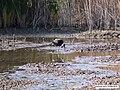 Plegadis falcinellus - Flickr - antoniovera1.jpg