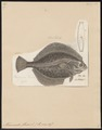 Pleuronectes flesus - 1788 - Print - Iconographia Zoologica - Special Collections University of Amsterdam - UBA01 IZ14000219.tif