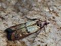 Plodia interpunctella - Indian meal moth - Южная амбарная огнёвка (43890223691).jpg