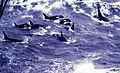 Pod killer whales.jpg