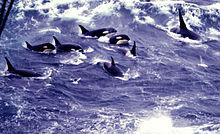 Image D Orque orque — wikipédia