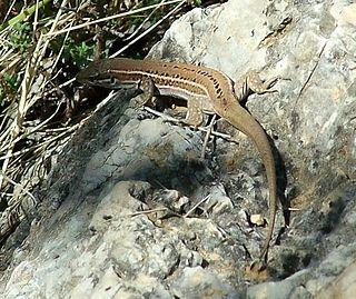 Dalmatian wall lizard Species of lizard