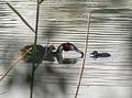 Podiceps cristatus - Haubentaucher - Great Crested Grebe - Familiy4.jpg